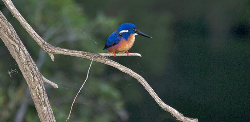 Blue king fisher photograph