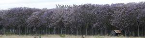Paulownia tree plantation photograph