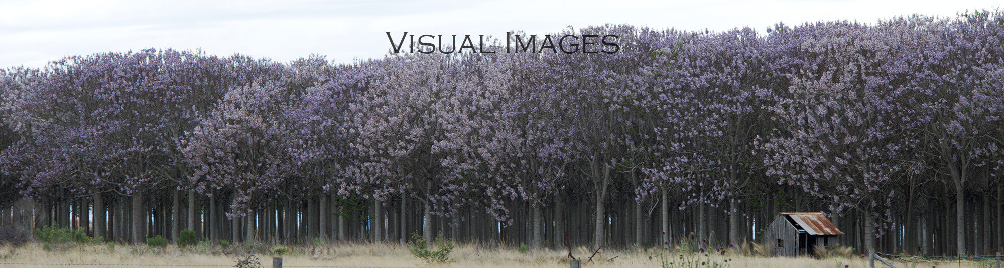 Paulownia tree plantation photograph