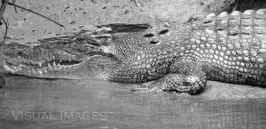 Daintree river Crocodile on bank