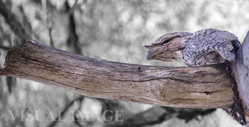 Tawny Frogmouth photo by Visual Image